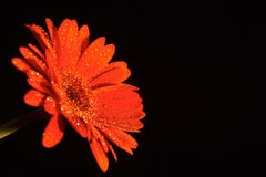 Red Flower. With waterdrops on black background Royalty Free Stock Images
