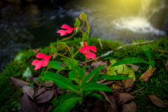 Red flower and waterfall. Red flower on grass or rock nearby area waterfall in the forest Royalty Free Stock Images