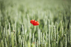 Red flower in wheat. Royalty Free Stock Photos