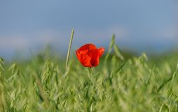 Red flower on a wheat green field royalty free stock images