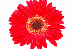 Red flower on white royalty free stock photo
