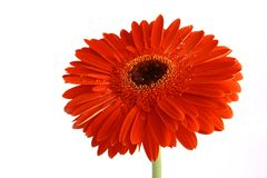 Red flower on a white backgrou Royalty Free Stock Photography