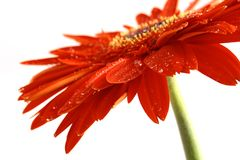 Red flower on a white backgrou Royalty Free Stock Image