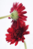 Red flower on white background Stock Image