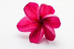 Red flower. On white background Stock Photos