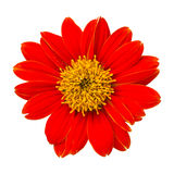 Red Flower. On white background Royalty Free Stock Photo