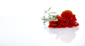 Red flower  before white background Stock Photography
