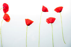 Red flower  before white background Stock Photo