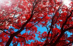 Red flower willow autumn leaves under the sun stock images