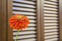 RED FLOWER WOODEN SHUTTERS Stock Photography