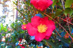 Red flower with yellow center surrounded by other red flowers and green foliage. Closeup of the yellow flowery center surounded other red flowers and grean leafy stock photo