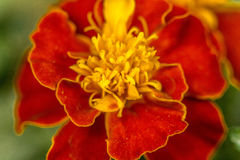 Red flower royalty free stock photos