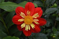 Red flower with yellow inside Royalty Free Stock Photo