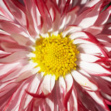 Red flower with yellow middle Royalty Free Stock Photography