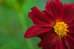 Red flower with yellow middle Stock Photos