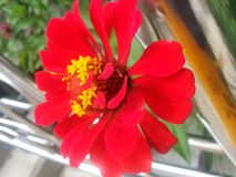 Red flower with yellow stamens and green leaves. In the background Stock Photography
