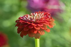 A red flower royalty free stock images