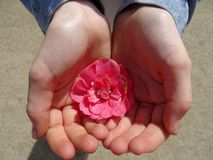 Red flower in young kids hands royalty free stock image