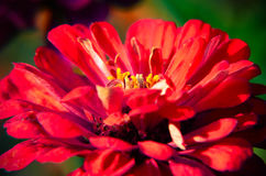 Red flower of Youth-and-age, Zinnia elegans, macro Stock Photography