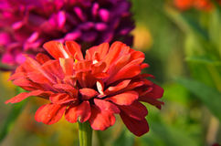 Red flower of Youth-and-age, Zinnia elegans, macro Stock Photos