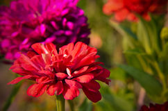 Red flower of Youth-and-age, Zinnia elegans, macro Stock Images