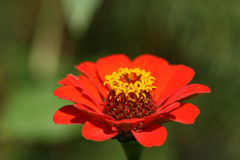 Red flower Zinnia. Red flower of Zinnia in garden. Energetic power Stock Photography