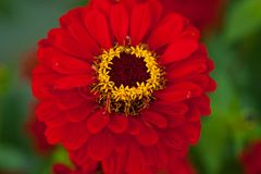 Red flower Royalty Free Stock Images