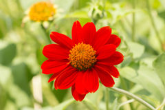 Red flower of Zinnia in garden Stock Images