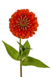 Red flower of zinnia (Lat. Zinnia) Stock Photography