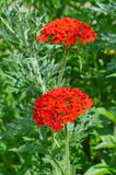 Red flowered Lychnis Stock Image