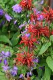 Crimson beebalm Monarda didyma Stock Image