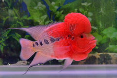 A red flowerhorn cichlid. A red and beautiful aquarium fish as pet, which is a type of flowerhorn cichlid fish, is freely swimming in water Stock Photography