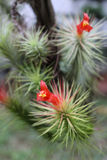 Red Flowering Airplant Royalty Free Stock Photography