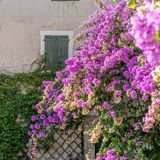 Red flowering bougainvillea. In front of a brick wall stock images