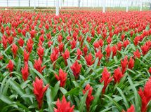 Red flowering Bromeliads plant in a greenhouse Stock Images