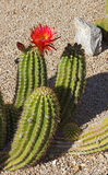 Red flowering cactus Stock Photo