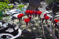 Red flowering cactus in the desert junkyard. A bundle of fresh red flowering cactus in the desert summer sun of the utah junkyard Royalty Free Stock Photos