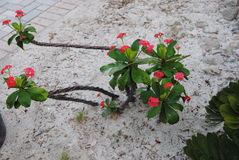 Red flowering cactus. A red flowering cactus planted in the sand in full bloom Royalty Free Stock Photo