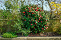 Red Flowering Camelia Bush In Spring. Royalty Free Stock Photo