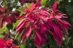 Red blooming poinsettia - Euphorbia pulcherima - christmas flower Stock Photo