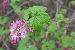 Red flowering currant bush Stock Image