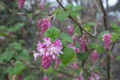 Red flowering currant bush Stock Photography