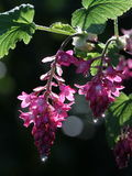 Red-flowering Currant Flowers Stock Photo