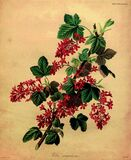 Red-flowering currant (1835) Stock Photos