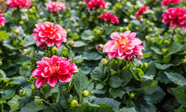Red flowering Dahlia plant after the rain Royalty Free Stock Image