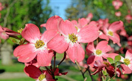 Red flowering dogwood Stock Photography