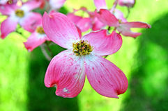 Red flowering dogwood Stock Images