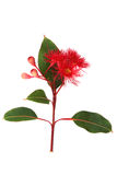 Red flowering Eucalyptus on white vertical image Stock Image