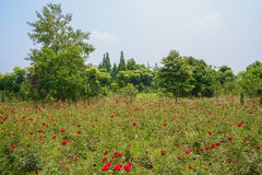 Red flowering field in sunny summer Royalty Free Stock Photo