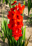 Red flowering gladiola in field Royalty Free Stock Photo